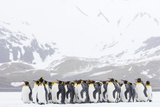 South Georgia Island  Right Whale Bay Penguins Huddle Together in Snowstorm