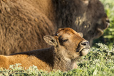 Bison Calf in Theodore Roosevelt National Park  North Dakota  Usa