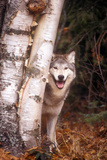 Gray Wolf in a Forest