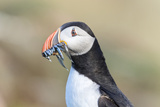 Atlantic Puffin with Sand Lance in Beak Scotland  Shetland Islands