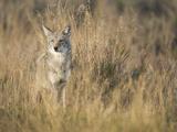 Mountain Coyote  Canis Latrans Lestes  Grand Teton National Park  Wyoming