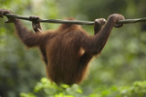 Baby Orangutan  Sabah  Malaysia