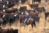Cowboy Herding Cattle in the Sierras of California Near Bridgeport