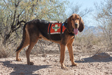 Search and Rescue Bloodhound in the Sonoran Desert