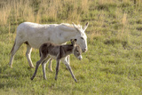 Wild Burros in Custer State Park  South Dakota  Usa
