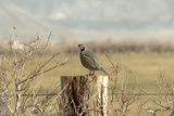 A California Quail on a Fence Post in the Carson Valley of Nevada