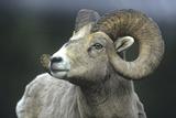Rocky Mountain Bighorn Sheep  Wyoming  Usa