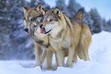 Gray Wolves in Snow  Montana