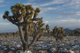 California  Death Valley National Park Joshua Trees in the Snow  Lee Flat
