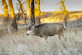 Mule Deer Buck in Winter Grassland Cover