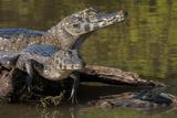 Brazil  Cuiaba River  Pantanal Wetlands  Three Yacare Caiman