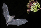 Arizona  Green Valley  Lesser Long-Nosed Bat Drinking Nectar from Agave Blossom