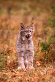 A Bobcat Out Hunting in an Autumn Colored Forest