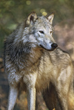 Portrait of a Gray Wolf  Montana