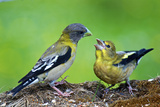 Young Evening Grosbeak Being Fed