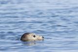 Harbor Seal on the Coast of the Shetland Islands Scotland