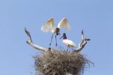 Brazil  Mato Grosso  the Pantanal Jabiru Flying into the Nest