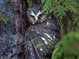 Northern Saw-Whet Owl  British Columbia  Canada