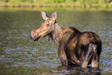 Female Moose Feeding in Glacier National Park  Montana  Usa