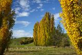 Poplar Trees and Farmland in Autumn  Near Lovells Flat  South Otago  South Island  New Zealand
