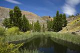 Pond  Reeds and Poplar Trees  Bannockburn  Central Otago  South Island  New Zealand