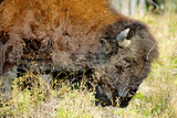 Wood Bison in Northern BC