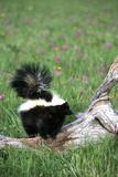 Striped Skunk in Field of Flowers  Montana