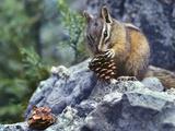 Least Chipmunk Eating a Cone  Montana  Usa