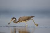 Tri-Colored Heron Feeding in Saline Wetland