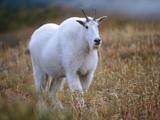Mountain Goat  Wyoming  Usa