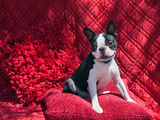 Boston Terrier on Red