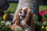 Cavalier Sitting in a Flowerbed