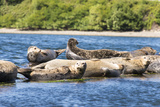 Washington State  Poulsbo Harbor Seal Haul Out Liberty Bay