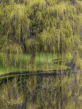 Washington State  Bainbridge Island Weeping Willow and Pond