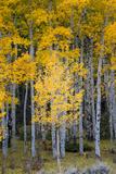 Utah Yellow Aspen  Flaming Gorge National Recreation Area