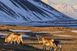 Reindeer Grazing Near Hofn  Iceland