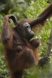 Orangutan Mother and Baby in a Tree  Sabah  Malaysia