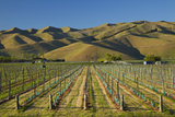 Vineyard and Wither Hills  Near Blenheim  Marlborough  South Island  New Zealand