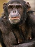 Chimpanzee Portrait  Kenya  Africa