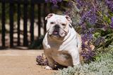 Bulldog Sitting on Garden Pathway