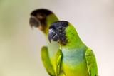 Brazil  Mato Grosso  the Pantanal Black-Hooded Parakeet Portrait
