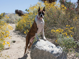 Boxer Standing by Garden Pathway