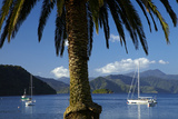 Palm Tree and Boats Moored in Picton Harbour  Marlborough Sounds  South Island  New Zealand