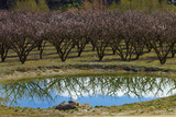Irrigation Dam and Orchard in Blossom  Alexandra  Central Otago  South Island  New Zealand