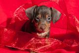 Doxen Puppy in Red