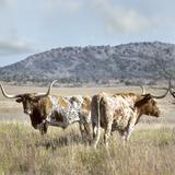 Longhorn Cattle  Texas  Usa