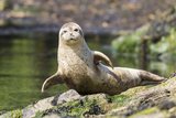 Harbor Seal on the Coast of the Shetland Islands Scotland