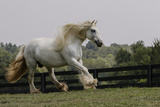 Gypsy Vanner Horse Running  Crestwood  Kentucky