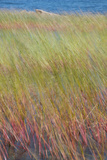 Maine  Acadia National Park Reeds Blurred and Blowing from Wind Near Jordan Pond