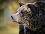 Brown Bear  Grizzly  Ursus Arctos  West Yellowstone  Montana